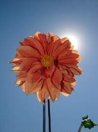 orange dalia flower