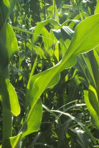 corn leaves