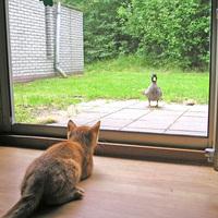 Cat vs duck I