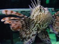 Devil Fire Fish