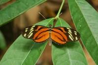 Postman butterfly 19