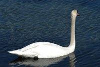 Swan_3_27.04.2005
