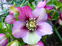 Winter Rose Shades of Purple