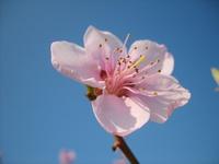 Peach In Blossom 4