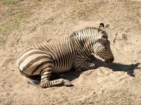 Zebra Sun Bath