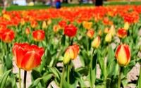 Gang of Tulips