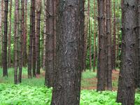 Mongo Pines 1