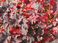 Autumn Oakleaf Hydrangea