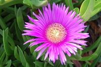 flower on Elba 4