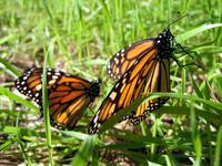 Monarchs 3 - Pair