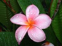 plumeria flower 2
