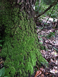 tree bark-moss