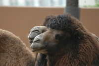Shaggy Camel