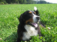 Berner Sennenhund, Dog