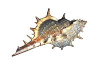 Sea Shell 3