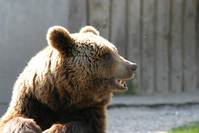 Bear Series 4
