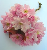 pink cherry blossom 1