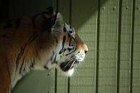 Tigers! 3