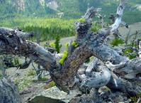 knarled tree on mountain top
