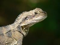 lizards 2