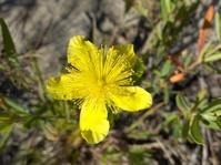 Summer Wildflower 1
