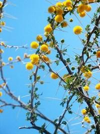 flowering thorn tree 2