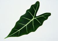Leaf 103