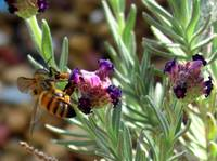 Bees Pollinating 4