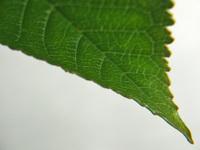 Top of leaf 2