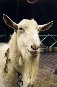 grinning goat