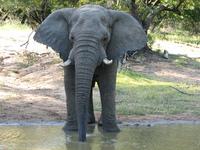 African Elephants 2