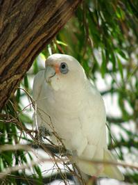 aussie birds 4