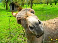 siley donkey 2