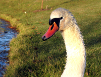 Swan portrait 3