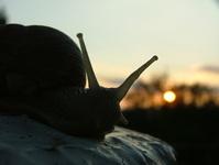 Snail in sunset 3