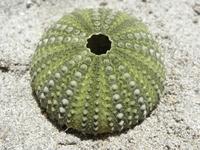 Green sea urchin 1