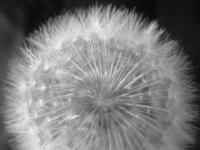 Dandelion 3