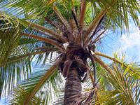 Caribbean Palmtrees 1