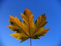 Leaf on blue sky