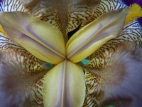 Iris Series 2