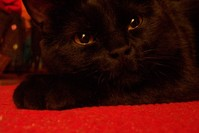 Sleepy Black Cat
