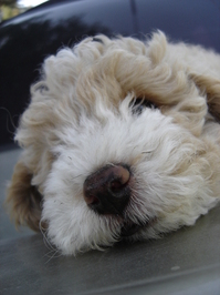 dog resting 1