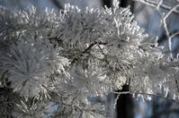 Fir Tree Frost 1