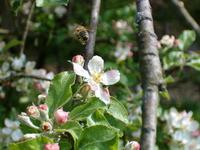apple tree and honey bee