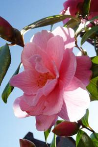 Camellia's sun-soaked textures
