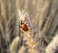Ladybird on the Corn
