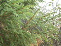 Dewdrops and pinetrees 1