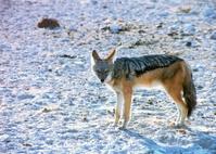 desert fox (or coyote)