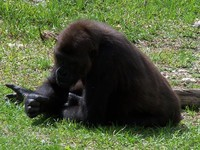 gorillas 17