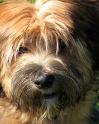 Tibetan Terrier Puppy 1